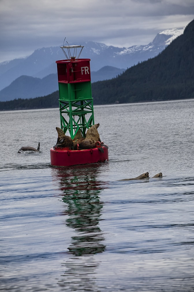 Alaskan Seals play on Buoy with mountain in background