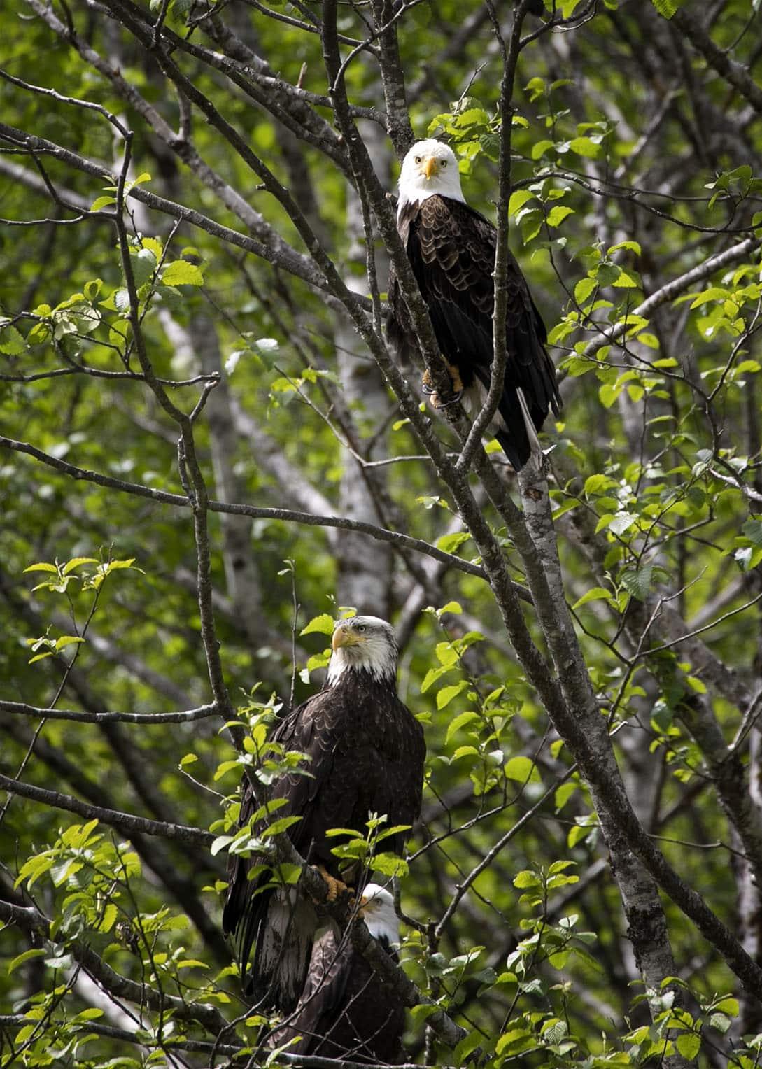 Alaskan Eagle Family in tree captured 70-300mm