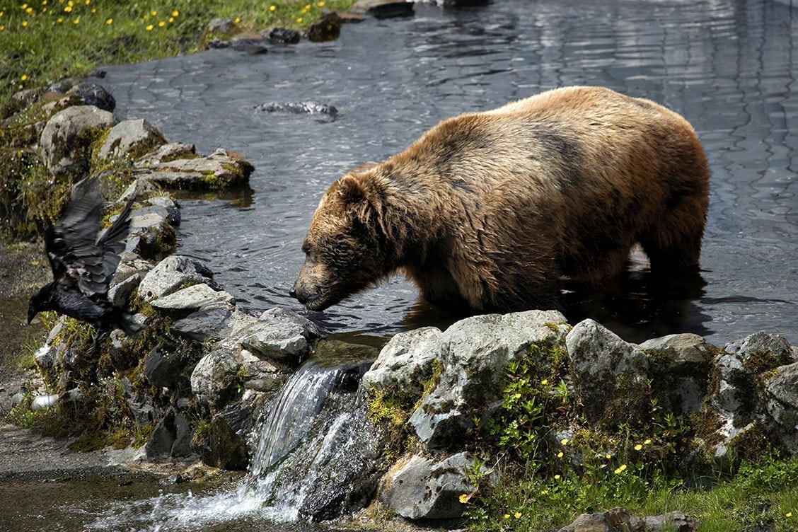 Alaskan Brown Bear drinking scaring off crow
