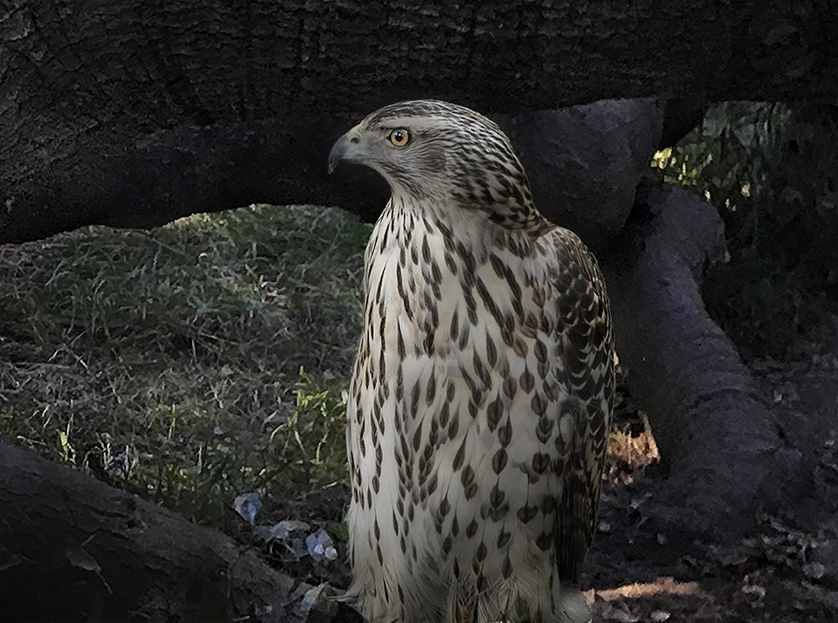 Close up of Sitka Raptor Center Star Spotted Hawk