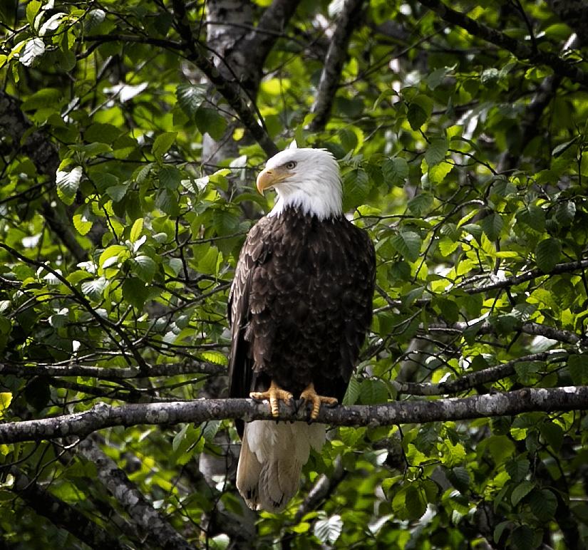 Profile of Bald Eagle in tree