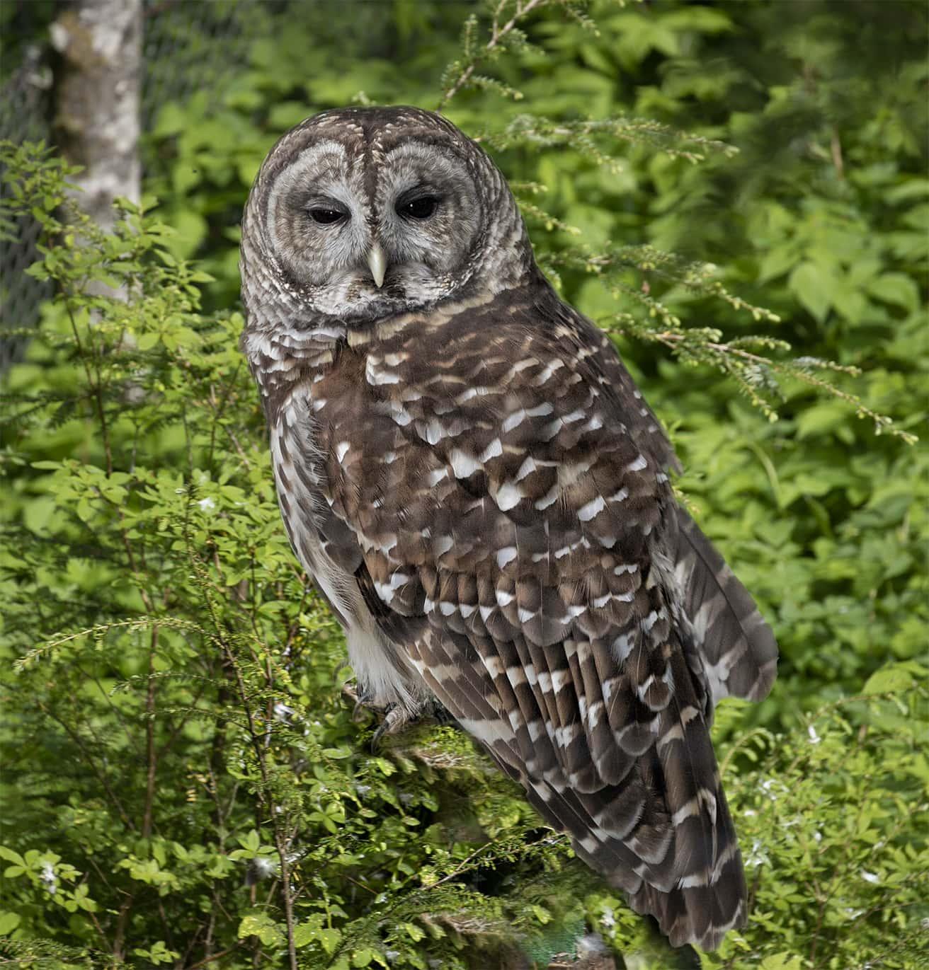 Alaskan Spotted Owl at Sikta Raptor Center