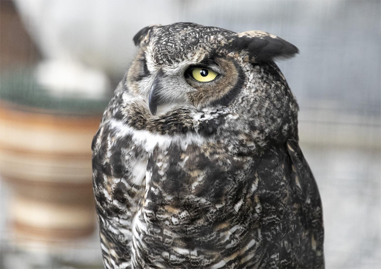 Extreme close up of Owl at Sitka Raptor Center
