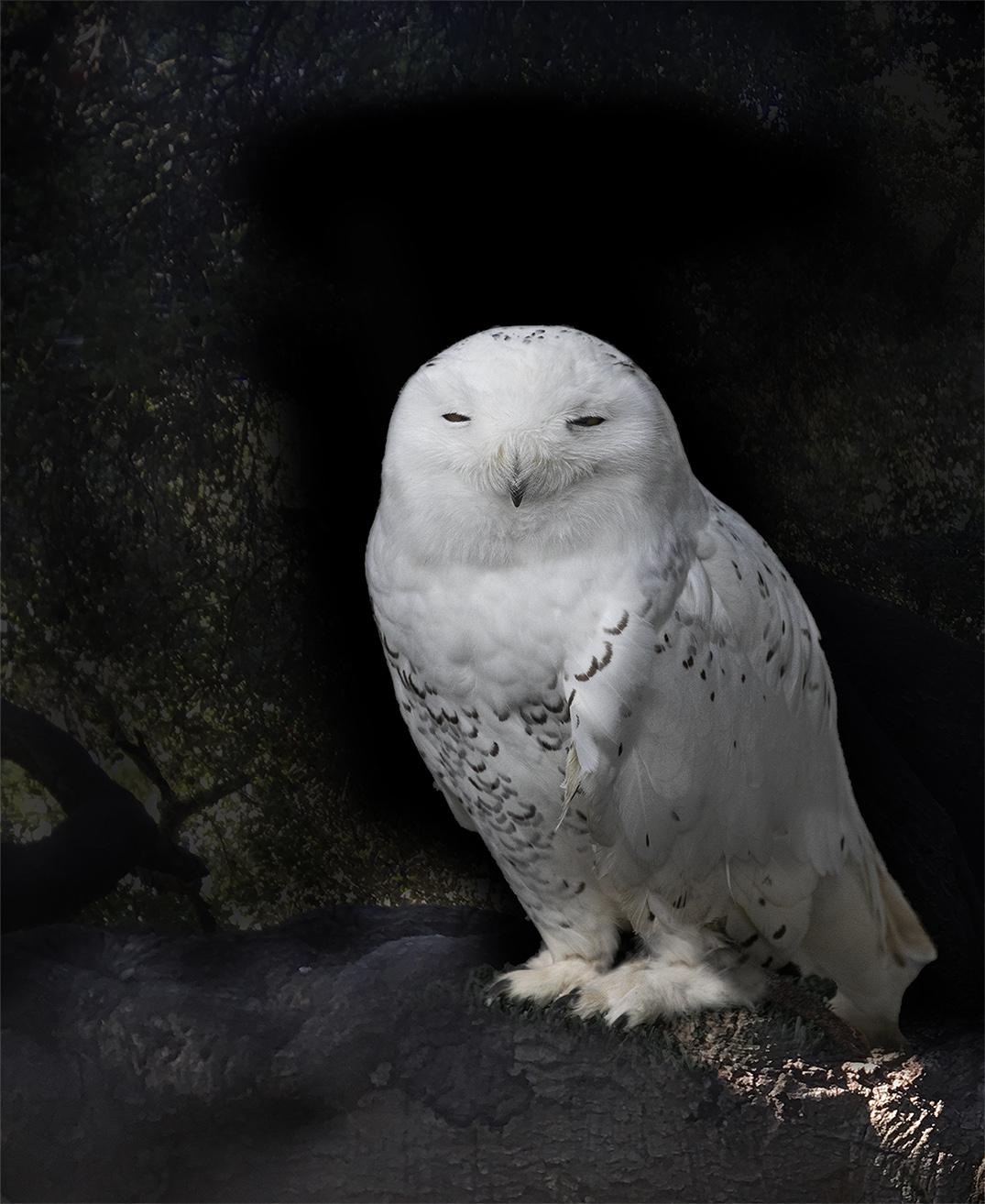 Close up of Alaskan Snowy OWl